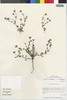 Flora of the Lomas Formations: Perityle emoryi Torr., Chile, M. O. Dillon 5550, F