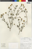 Flora of the Lomas Formations: Perityle emoryi Torr., Chile, M. O. Dillon 5596, F