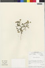 Flora of the Lomas Formations: Perityle emoryi Torr., Chile, M. O. Dillon 5468, F