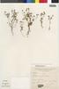 Flora of the Lomas Formations: Perityle emoryi Torr., Peru, S. Llatas Quiroz 362, F