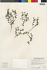 Flora of the Lomas Formations: Perityle emoryi Torr., Peru, S. G. Beck 7933, F