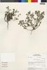 Flora of the Lomas Formations: Perityle emoryi Torr., Peru, M. O. Dillon 3676, F