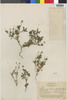 Flora of the Lomas Formations: Perityle emoryi Torr., Chile, F. W. Pennell 13030, F