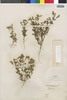 Flora of the Lomas Formations: Perityle emoryi Torr., Chile, E. Werdermann 775, F
