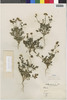 Flora of the Lomas Formations: Perityle emoryi Torr., Chile, E. Werdermann 796, F
