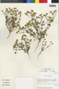 Flora of the Lomas Formations: Perityle emoryi Torr., Chile, M. O. Dillon 5038, F