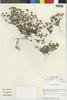 Flora of the Lomas Formations: Perityle emoryi Torr., Chile, M. O. Dillon 5050, F