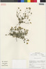 Flora of the Lomas Formations: Perityle emoryi Torr., Chile, M. O. Dillon 5054, F