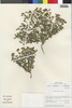 Flora of the Lomas Formations: Perityle emoryi Torr., Chile, M. O. Dillon 5061, F