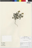 Flora of the Lomas Formations: Perityle emoryi Torr., Chile, M. O. Dillon 5098, F