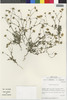 Flora of the Lomas Formations: Perityle emoryi Torr., Chile, M. O. Dillon 5111, F