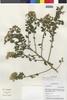 Flora of the Lomas Formations: Pluchea chingoyo (Kunth) DC., Peru, M. Weigend 97/571, F