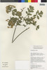 Flora of the Lomas Formations: Pluchea chingoyo (Kunth) DC., Peru, T. Anderson 7856, F