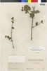 Flora of the Lomas Formations: Pluchea chingoyo (Kunth) DC., Chile, J. Isern 613, F