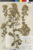 Flora of the Lomas Formations: Pluchea chingoyo (Kunth) DC., Peru, P. C. Hutchison 7138, F
