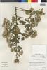 Flora of the Lomas Formations: Pluchea chingoyo (Kunth) DC., Peru, M. O. Dillon 4752, F