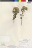 Flora of the Lomas Formations: Pluchea chingoyo (Kunth) DC., Peru, R. Ferreyra 18529, F
