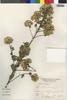 Flora of the Lomas Formations: Pluchea chingoyo (Kunth) DC., Peru, A. Sag?stegui A. 12298, F