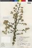 Flora of the Lomas Formations: Pluchea chingoyo (Kunth) DC., Peru, S. Llatas Quiroz 822, F