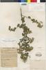 Flora of the Lomas Formations: Pluchea chingoyo (Kunth) DC., Peru, R. A. Ferreyra 6298, F