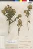Flora of the Lomas Formations: Pluchea chingoyo (Kunth) DC., Peru, J. Isern 614, F