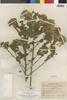 Flora of the Lomas Formations: Pluchea chingoyo (Kunth) DC., Peru, R. A. Ferreyra 1381, F