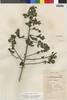 Flora of the Lomas Formations: Pluchea chingoyo (Kunth) DC., Peru, D. B. Stafford 902, F