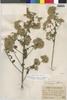 Flora of the Lomas Formations: Pluchea chingoyo (Kunth) DC., Peru, J. F. Macbride 2562, F