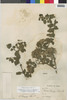 Flora of the Lomas Formations: Pluchea chingoyo (Kunth) DC., Peru, A. Weberbauer 5364, F