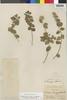 Flora of the Lomas Formations: Pluchea chingoyo (Kunth) DC., Peru, O. L. Haught 200, F