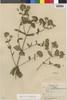 Flora of the Lomas Formations: Stevia melissaefolia (Lam.) Sch. Bip., Peru, E. Cerrate V. 865, F