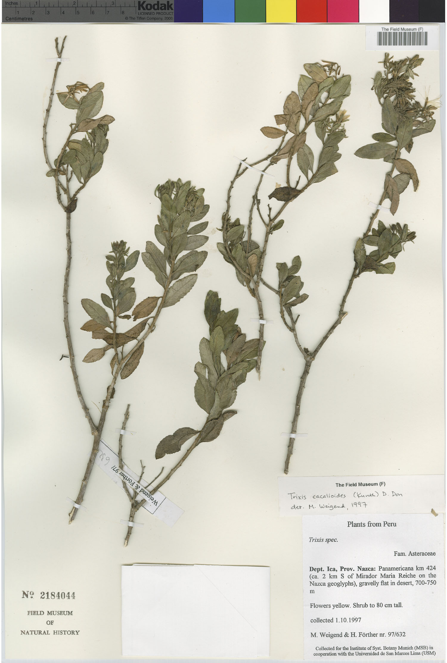 Trixis cacalioides image