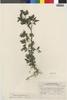 Flora of the Lomas Formations: Villanova oppositifolia Lag., Peru, C. R. Worth 15703, F