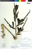 Flora of the Lomas Formations: Puya boliviensis Baker, Chile, M. O. Dillon 5242, F