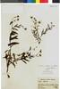 Flora of the Lomas Formations: Senecio smithianus Cabrera, Peru, A. Weberbauer 7186, F