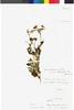 Flora of the Lomas Formations: Lomanthus B. Nord. & Pelser, Peru, J. J. Soukup 3780, F