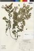 Flora of the Lomas Formations: Adiantum subvolubile Kuhn, Peru, J. Mostacero León 1460, F