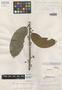 Helicostylis podogyne Ducke, Brazil, A. Ducke 1475, Isosyntype, F