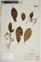 Tabernaemontana citrifolia L., Martinique, A. Duss 1866, F