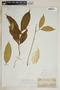 Tabernaemontana undulata Vahl, Trinidad and Tobago, O. Kuntze 844, F