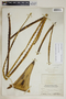 Agave cacozela Trel., Bahamas, N. L. Britton 5381, F