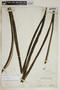 Agave cacozela Trel., Bahamas, N. L. Britton 5931, F