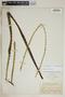 Agave cacozela Trel., Bahamas, N. L. Britton 523, F
