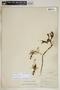 Agave sisalana Perrine, Bahamas, J. I. Northrop 164, F