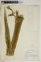 Agave sobolifera Houtt., Jamaica, T. G. Yuncker 18635, F
