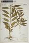 Asclepias curassavica L., Bahamas, A. H. Curtiss 2, F
