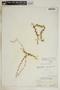 Anemotrochus eggersii (Schltr.) Mangelsdorff, Meve & Liede, Bahamas, N. L. Britton 5829, F