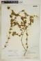 Anemotrochus eggersii (Schltr.) Mangelsdorff, Meve & Liede, Bahamas, P. Wilson 7670, F