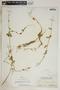 Metastelma bahamense Griseb., Bahamas, N. L. Britton 5626, F