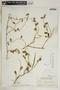 Metastelma bahamense Griseb., Bahamas, N. L. Britton 5675bis, F